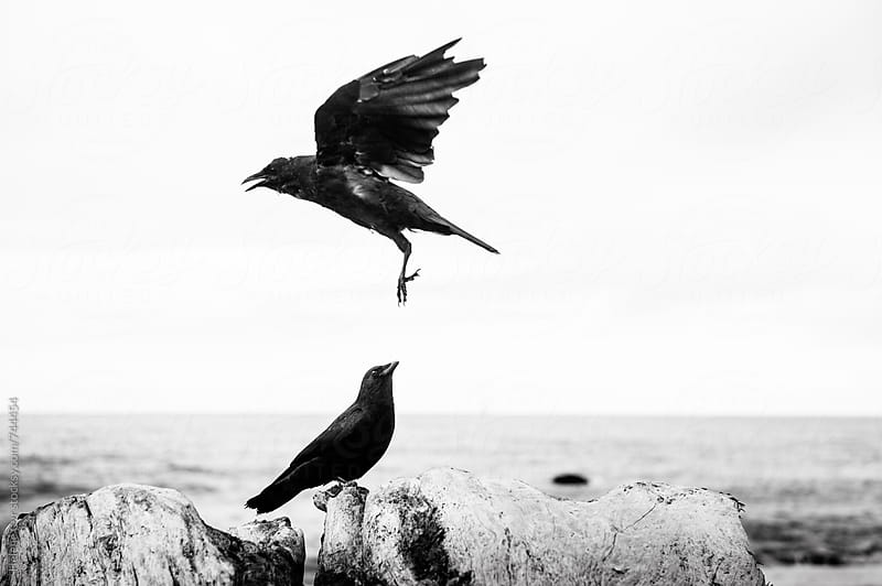 Crows by Helene Cyr for Stocksy United