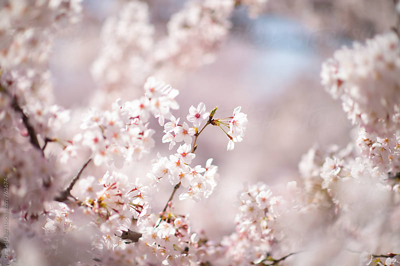 pink blossoms. by Gabriel Diaz for Stocksy United