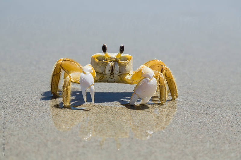 Crab on Beach by Adam Nixon for Stocksy United