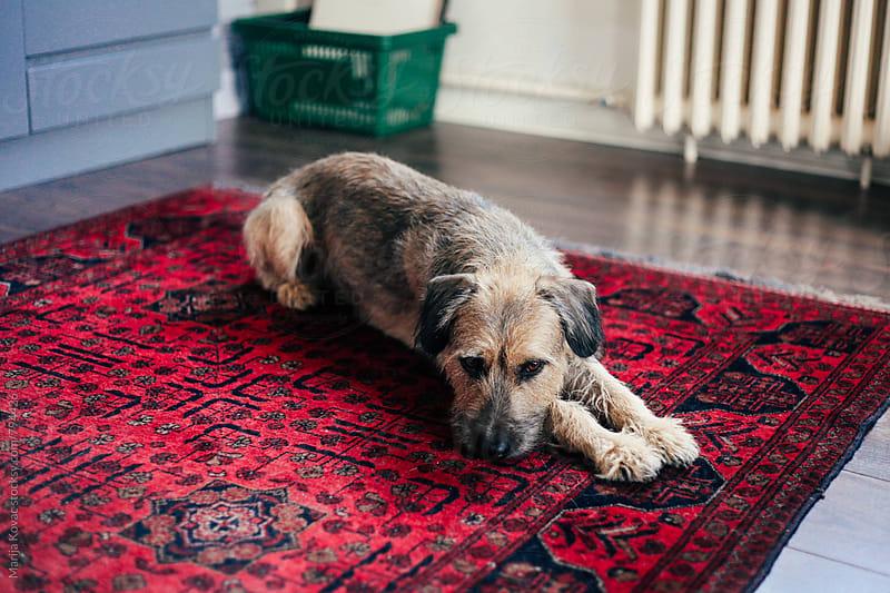 Half breed dog lying  by Marija Kovac for Stocksy United