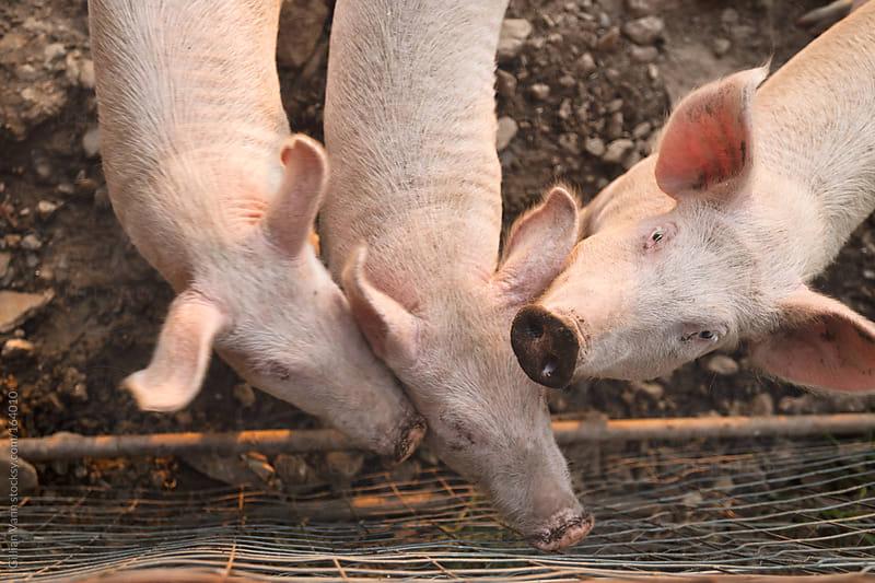happy, dirty pigs on my farm by Gillian Vann for Stocksy United