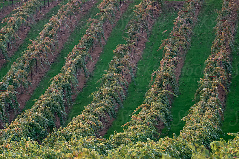 Grape Vineyards in Autumn Russian River Valley Wine Growing Region Sonoma Valley, California by Raymond Forbes LLC for Stocksy United