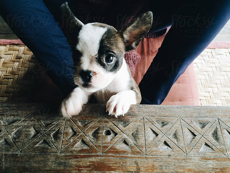 Cute puppy looking upward at camera by Jesse Morrow for Stocksy United