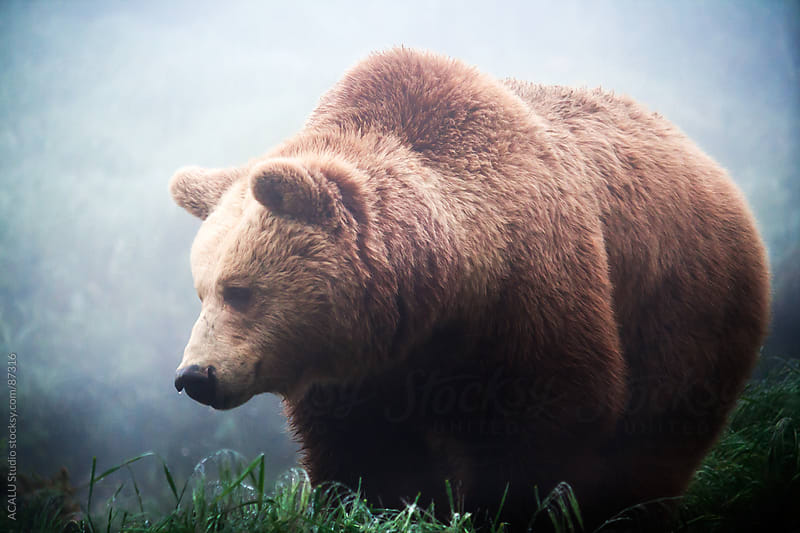 Brown bear in the fog by ACALU Studio for Stocksy United