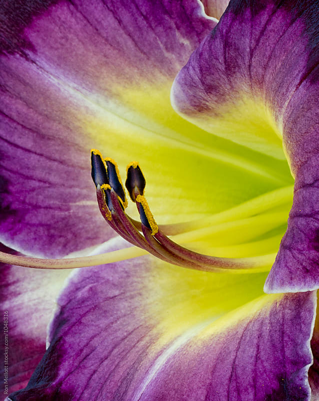 closeup macrophotograph of cultivar of the Daylily (Hemerocallis) by Ron Mellott for Stocksy United