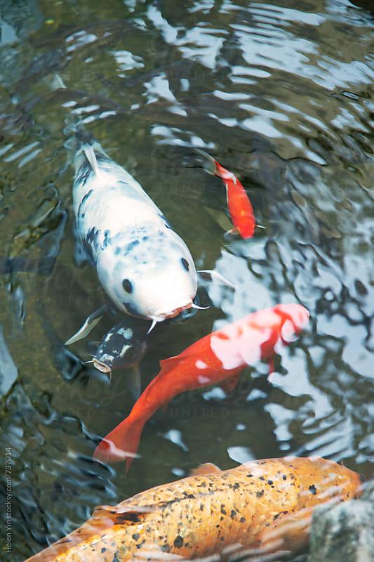 Japanese koi carp by Helen Yin for Stocksy United