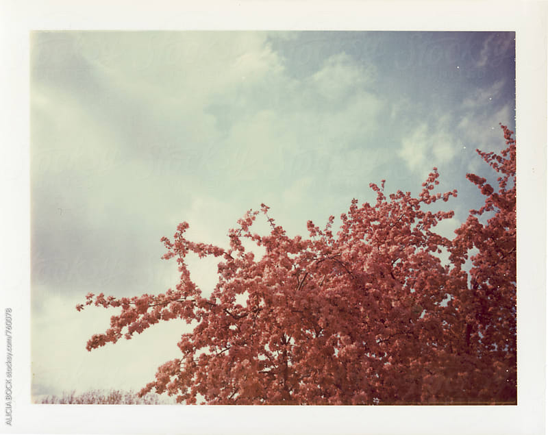 A Blooming Crab Apple Tree Photographed On Expired Polaroid Peel Apart Film by ALICIA BOCK for Stocksy United