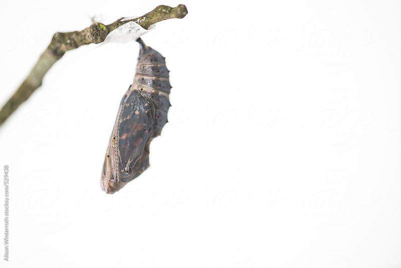 Transparent Cocoon Where A Butterfly Is About To Emerge by Alison Winterroth for Stocksy United