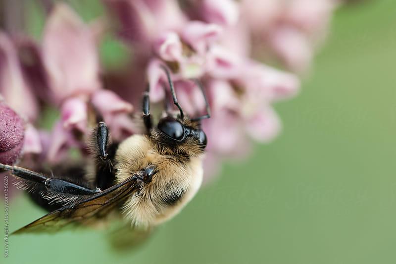 Macro of bumblebee on milkweed flowers by Kerry Murphy for Stocksy United