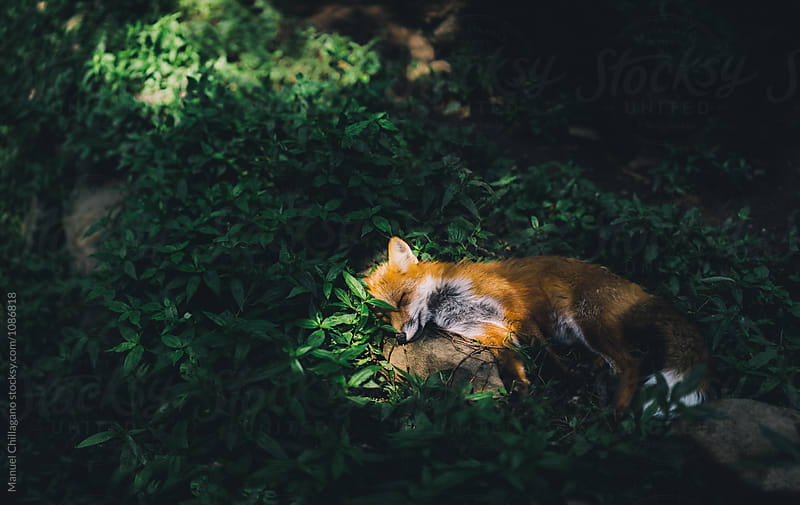 Sunbathing red fox by Manuel Chillagano for Stocksy United