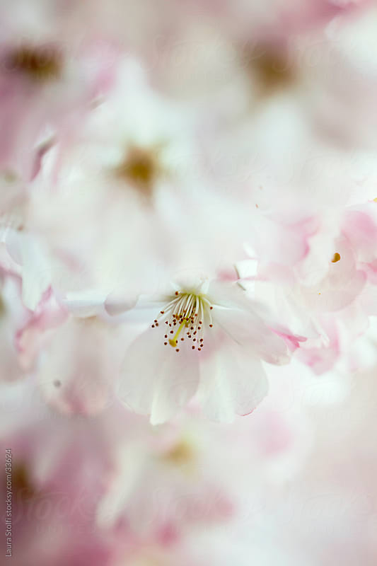 Extreme close-up of pink sour cherry tree flowers in bloom by Laura Stolfi for Stocksy United