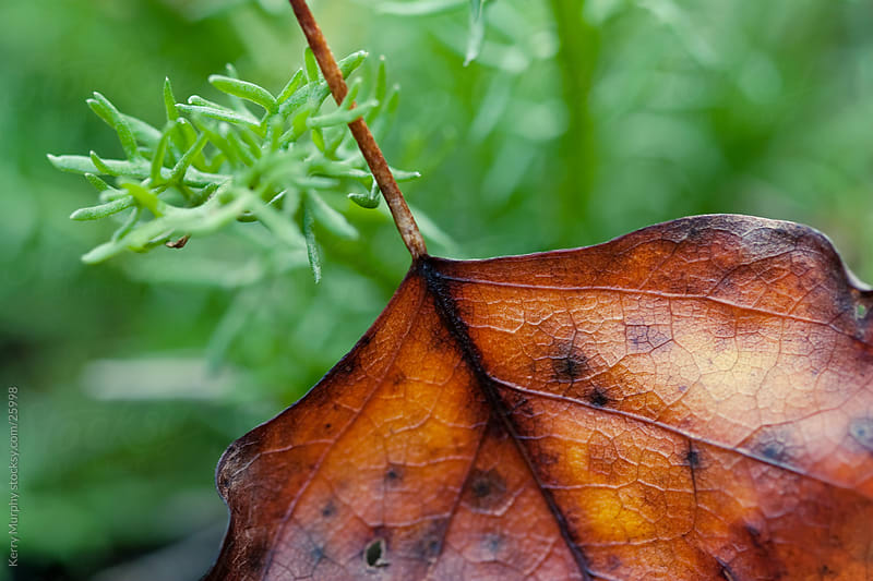 Macro of colorful autumn leaf by Kerry Murphy for Stocksy United