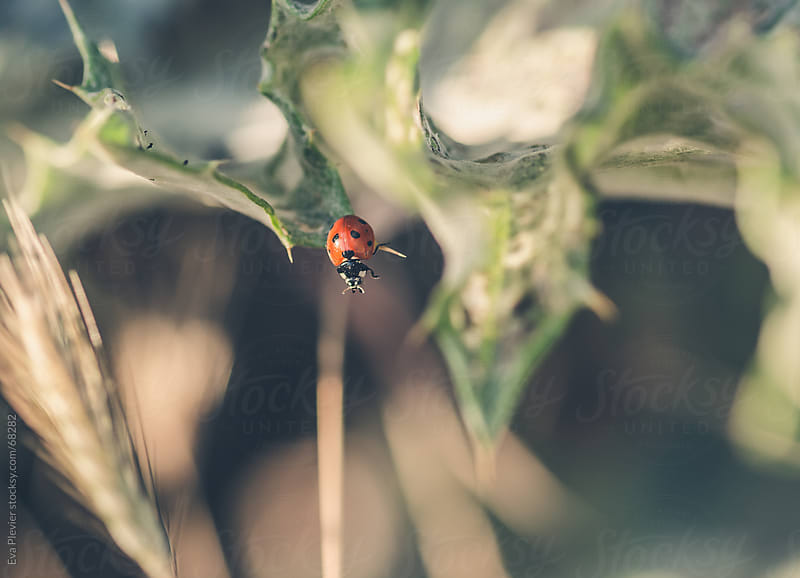 Ladybug walking on leaves by Eva Plevier for Stocksy United