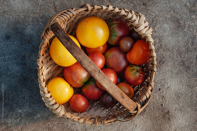 variety of fresh heirloom tomatoes in a basket by Deirdre Malfatto for Stocksy United