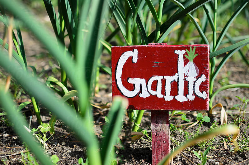 Garlic sign at the garlic garden bed by Alice Nerr for Stocksy United