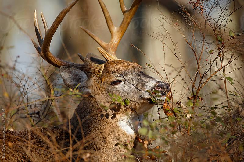 Grazing Deer by Paul Tessier for Stocksy United