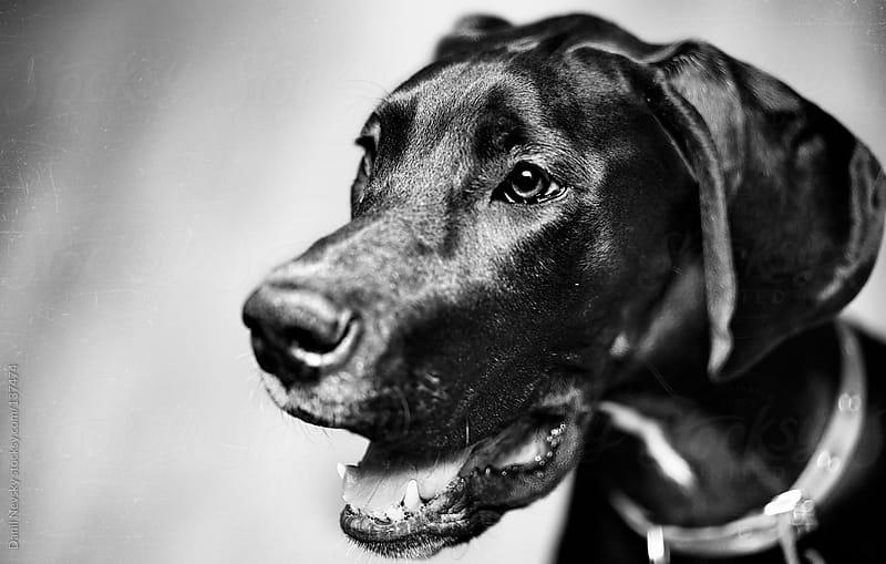 German Mastiff by Danil Nevsky for Stocksy United
