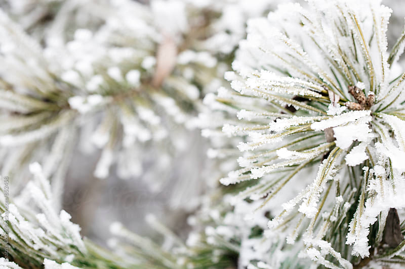 Pine tree closeup covered with snow by Beatrix Boros for Stocksy United
