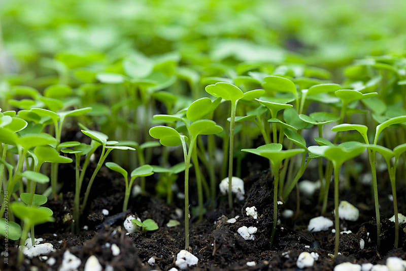 Grow You Own Microgreens. by Jill Chen for Stocksy United