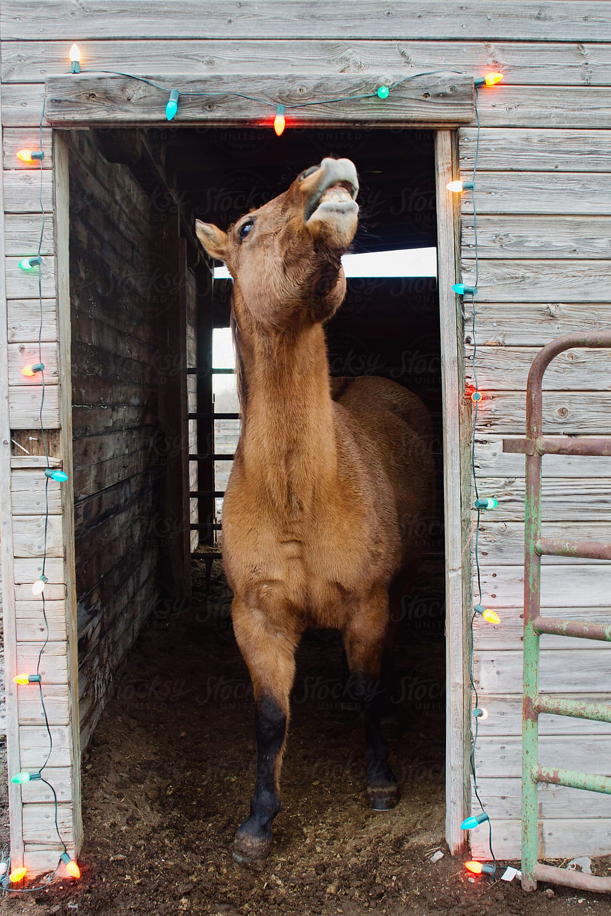 Horse Showing Teeth Standing In Barn Doorway Decorated With Christmas Lights By Tana Teel Christmas Horse Stocksy United