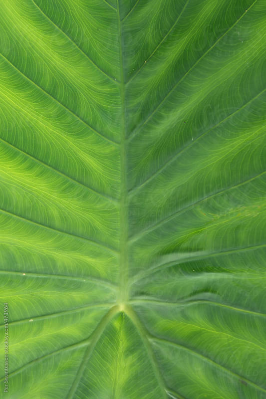 Closeup of green beautiful, large leaf by Per Swantesson for Stocksy United