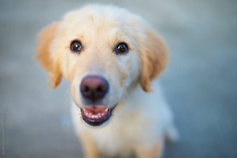 adorale young Golden retriever outdoor by cuiyan Liu for Stocksy United