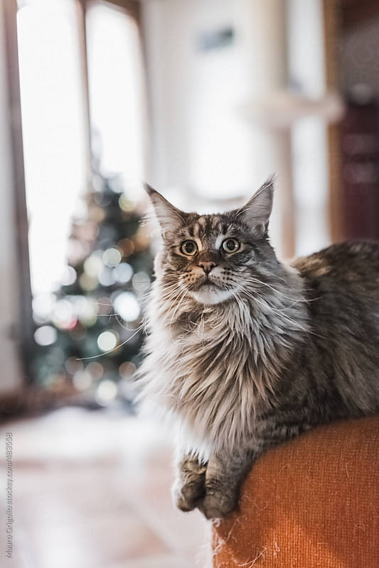 Cute cat at home  by Mauro Grigollo for Stocksy United