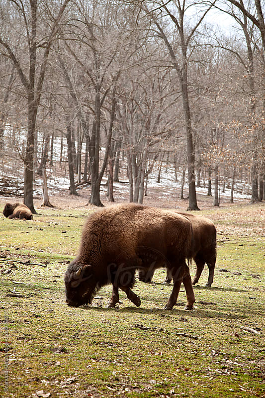 A Herd of American Bison in the Wilderness by Brandon Alms for Stocksy United