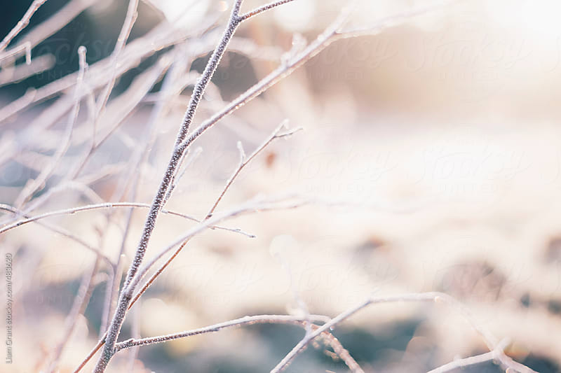 Frost covered branches lit by the sunrise. by Liam Grant for Stocksy United