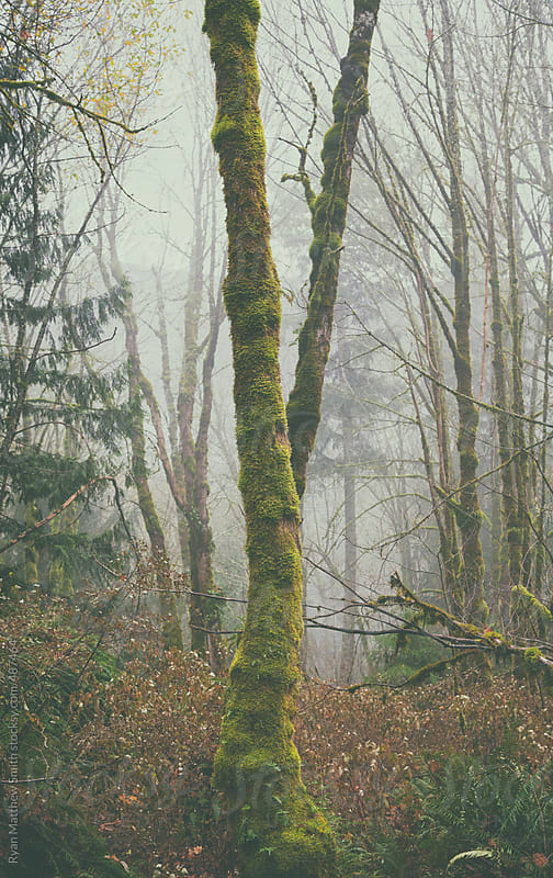 Pine Tree, Moss, Fog by Ryan Matthew Smith for Stocksy United
