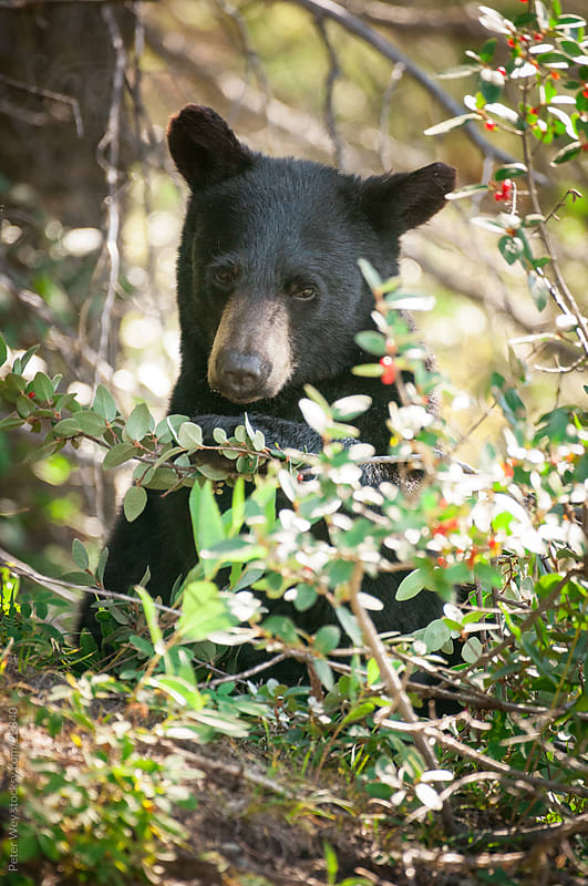 Wildlife: Young black bear in Banff National Park by Peter Wey for Stocksy United