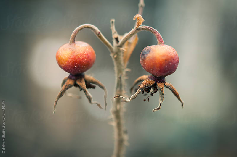 Two red rosehips hang from a stalk by Deirdre Malfatto for Stocksy United