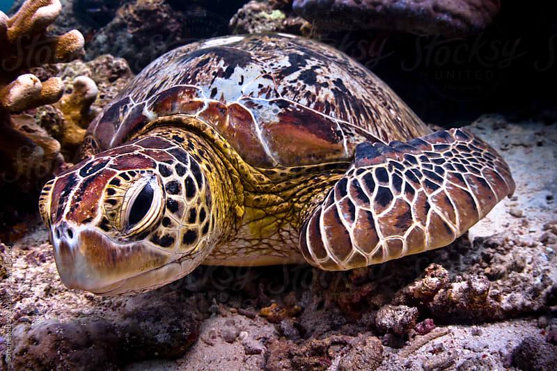 Sea turtle looking at viewer on coral reef underwater  by Soren Egeberg for Stocksy United