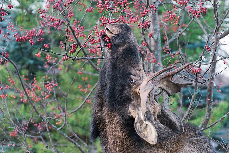 Moose and his food by Tara Romasanta for Stocksy United