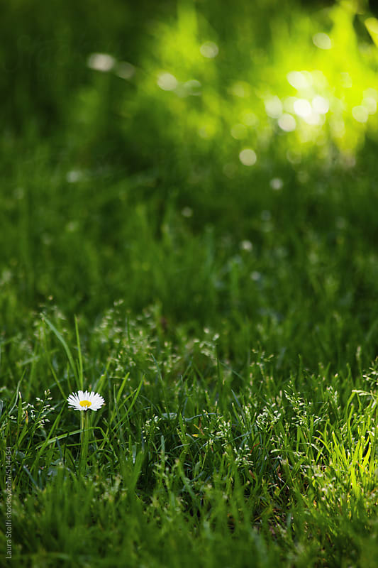 Lonely daisy in half shady half sunny green lawn by Laura Stolfi for Stocksy United