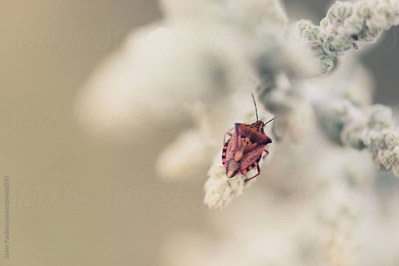 small heteroptera  on a plant by Javier Pardina for Stocksy United