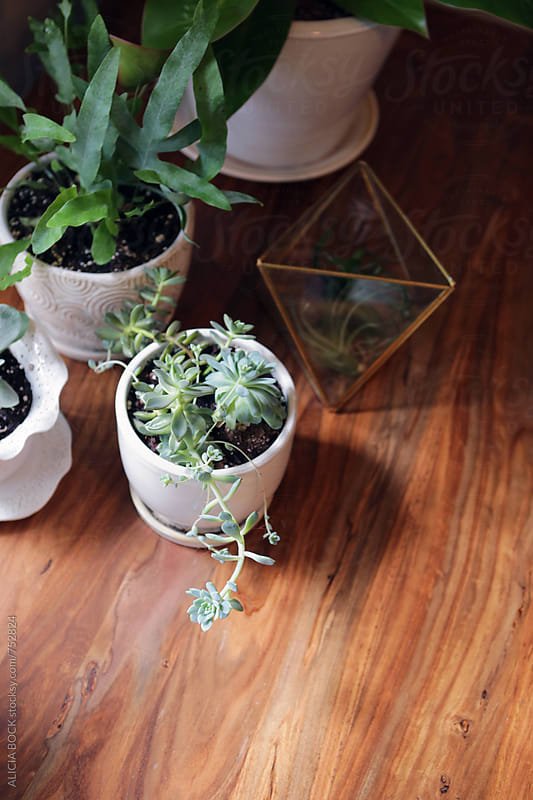 A Collection Of Various Houseplants On A Sun Filled Wood Table by ALICIA BOCK for Stocksy United