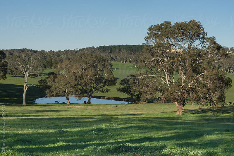 cattle by the dam on a farm in South Australia by Gillian Vann for Stocksy United