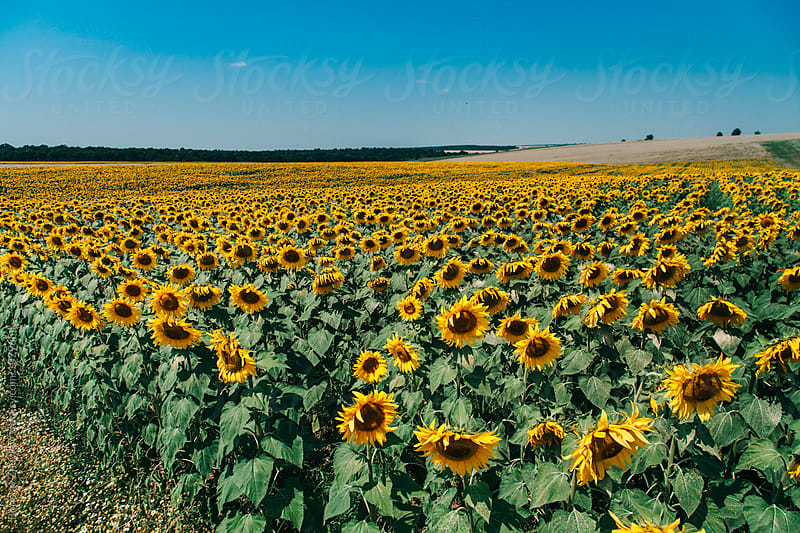 Sunflower field by Borislav Zhuykov for Stocksy United