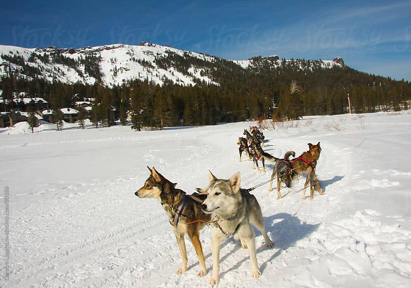 Sled dogs pulling girls in the snow  by Carolyn Lagattuta for Stocksy United