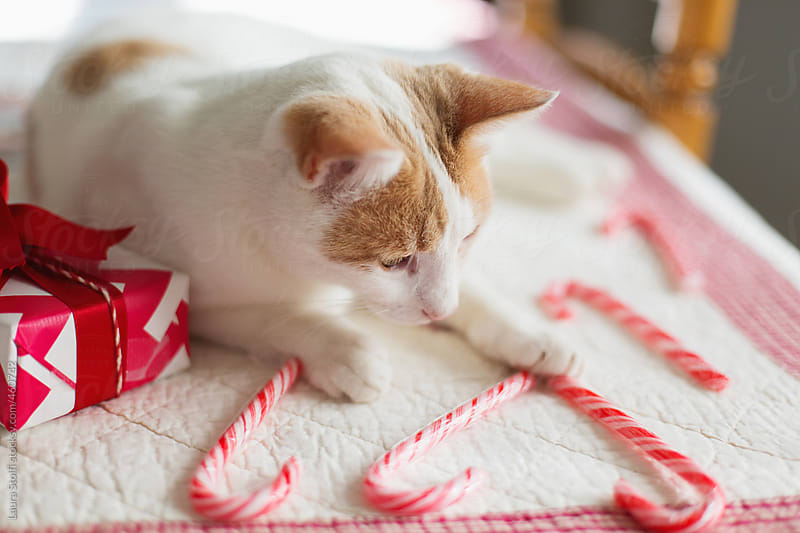 Cat lays on kitchen table and plays with candy canes close to wrapped gift by Laura Stolfi for Stocksy United
