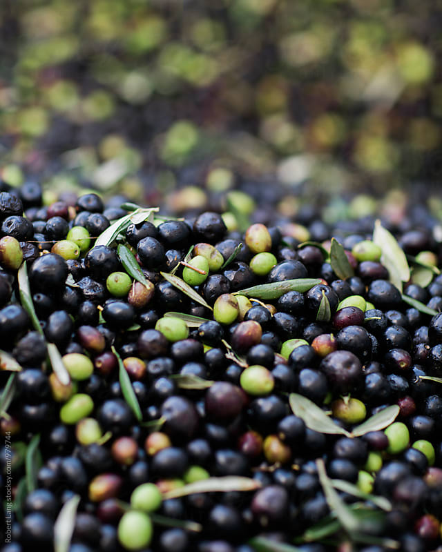 Olives during harvest by Robert Lang for Stocksy United