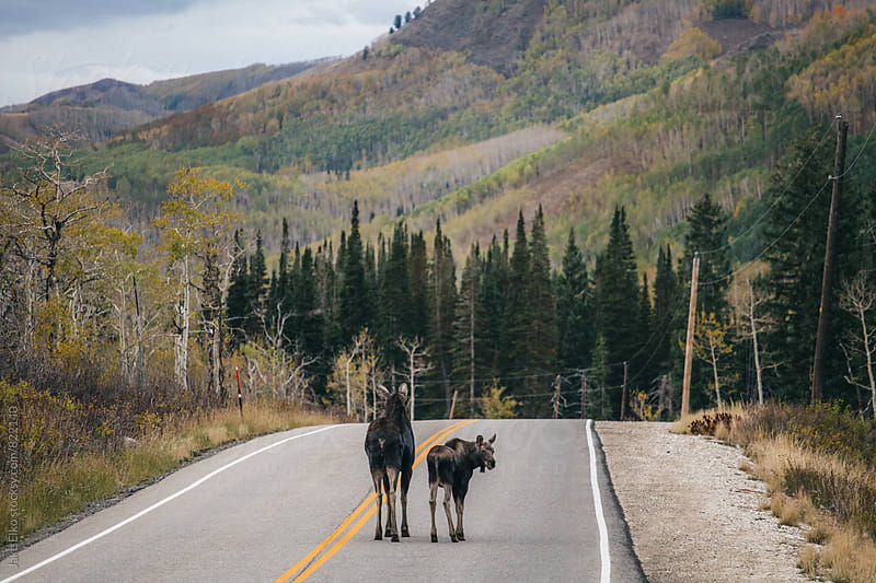 Utah Moose In The Middle Of Road by Jake Elko for Stocksy United