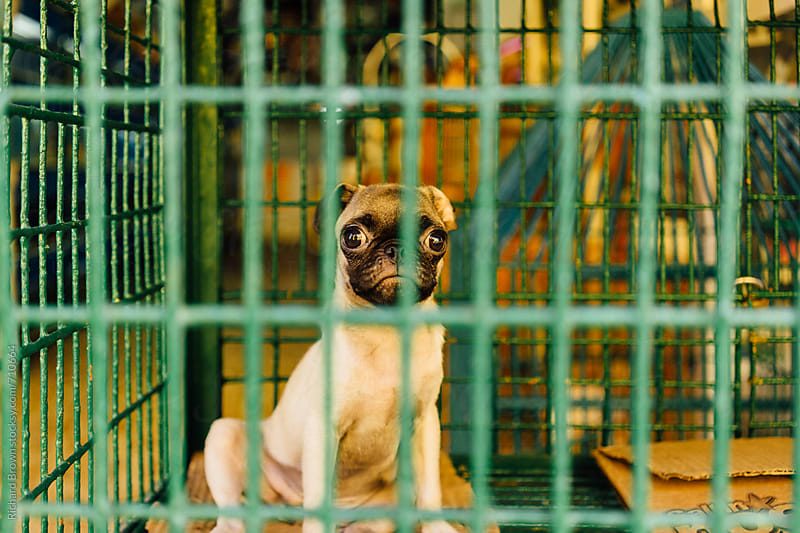 Pug doing hard time in a Colombian jail by Richard Brown for Stocksy United