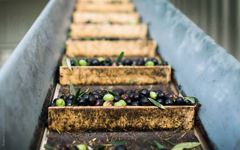 Olives on a conveyer belt by Robert Lang for Stocksy United