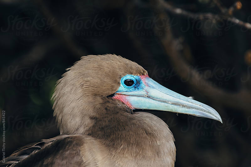 Red-footed booby close-up by Gabriel Tichy for Stocksy United