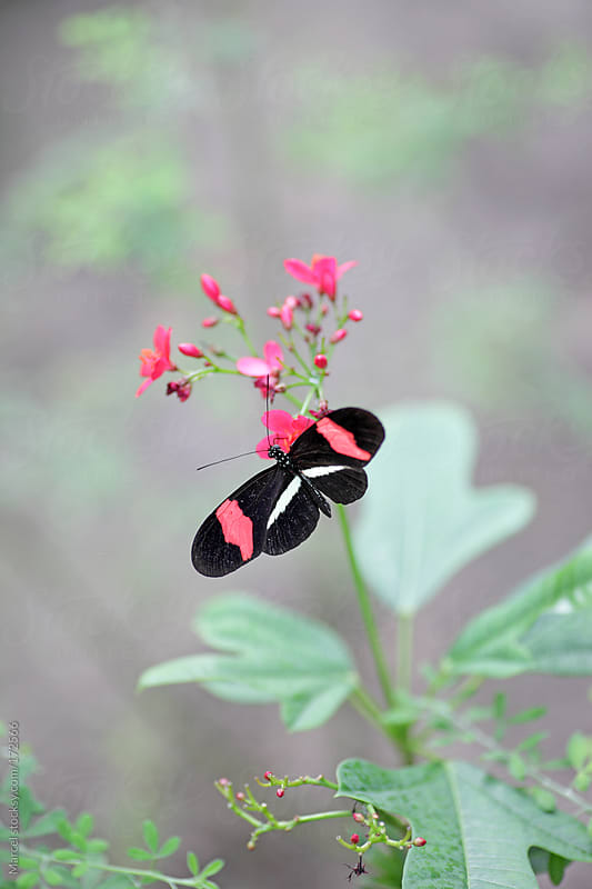 Butterfly feeding on red flowers by Marcel for Stocksy United