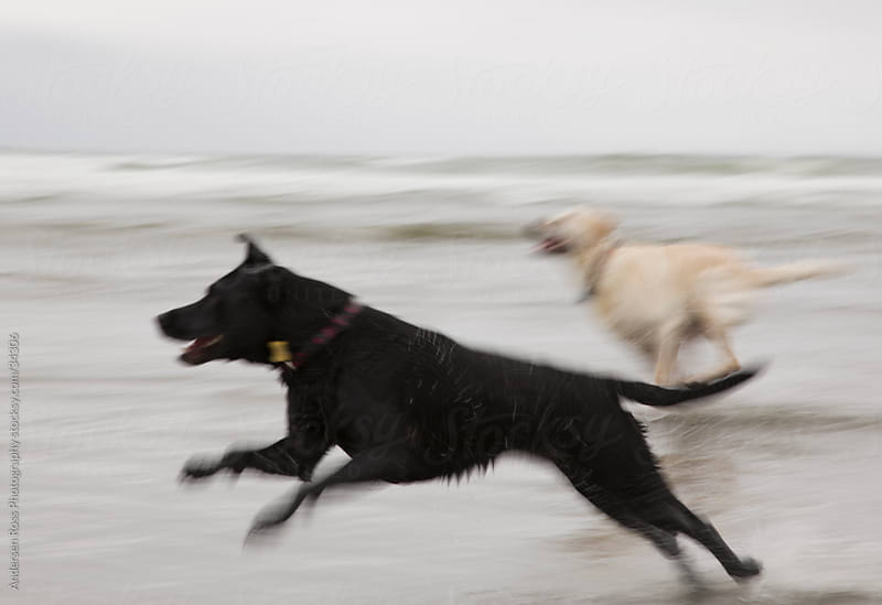 Two Labradors running on beach by Andersen Ross Photography for Stocksy United