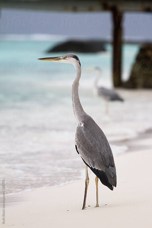 Grey heron in the Maldives by Ruth Black for Stocksy United