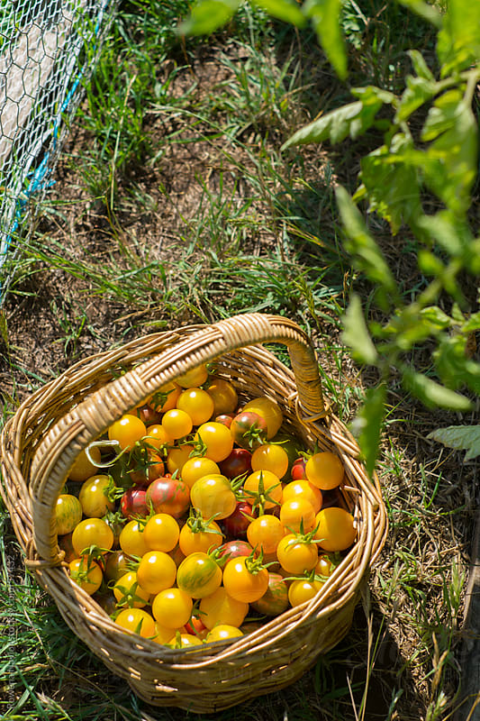 Organic Yellow Cherry Tomatoes Just Harvested by Rowena Naylor for Stocksy United